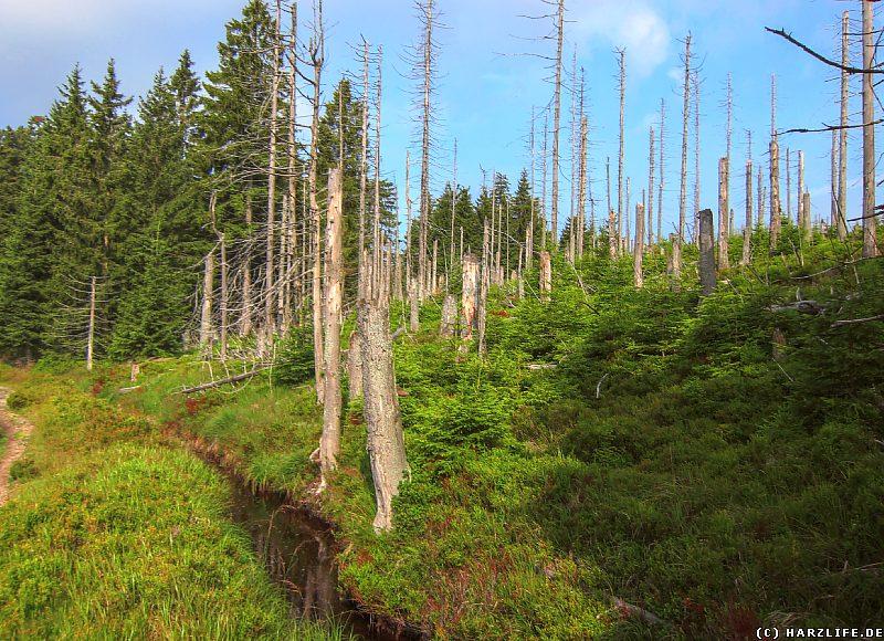Waldsterben am Bruchberg