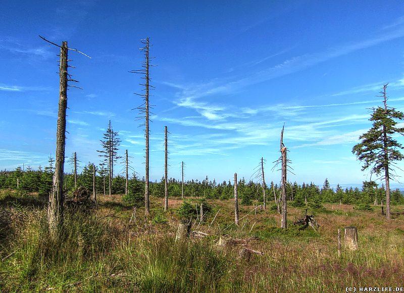 Die letzten stummen Zeugen des Waldsterbens im Harz