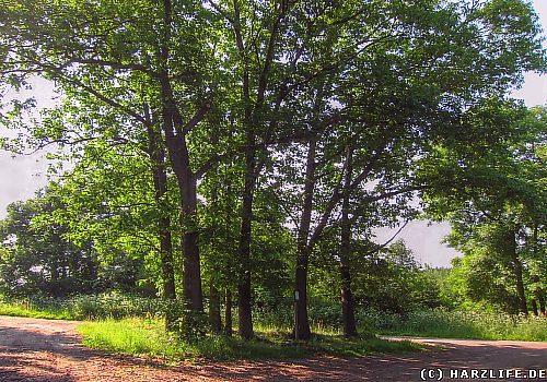 Das Naturdenkmal Hindenburgeichen